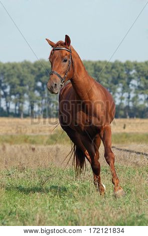 Chestnut horse trotting on the green meadow