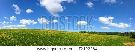 Panorama of undulating fields with wild flowers and white clouds. Landscape of summer meadows on the hills, covered with yellow dandelions. Nature is peaceful and gentle.