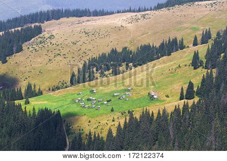 Spruce fir forest in the Ukrainian Carpathians. Sustainable clear ecosystem. Deforestation