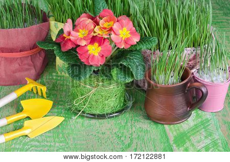Seedlings of flowers and herbs in pots, the means to care for them. Green wooden background.