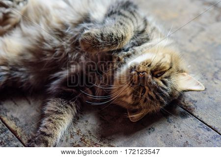 The cat is very cute. A hybrid cat Persian and Thai. Playing on the floor of the House