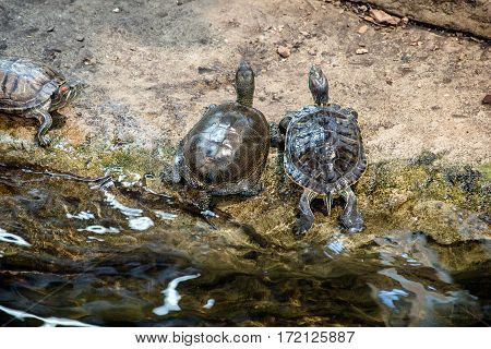 Two pond slider sit at the water's edge
