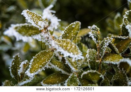 a beautiful branch of evergreen shrub covered with frost winter