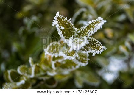 a beautiful sprig of evergreen shrub covered with frost winter