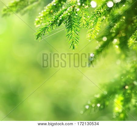 Spring natural background. Young spruce branch in drops of rain.