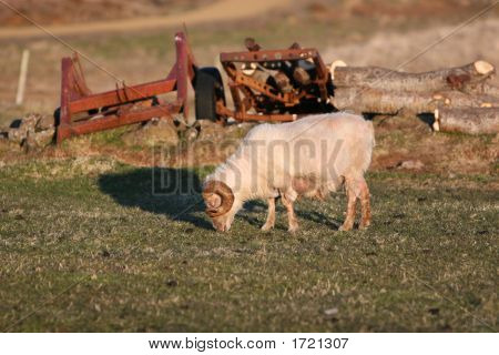 A ram grazing in a field all by himself old rusty farm equipment in the background poster