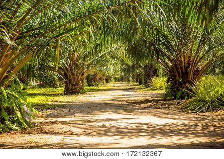 The alley with palm trees Thailand Phi-Phi