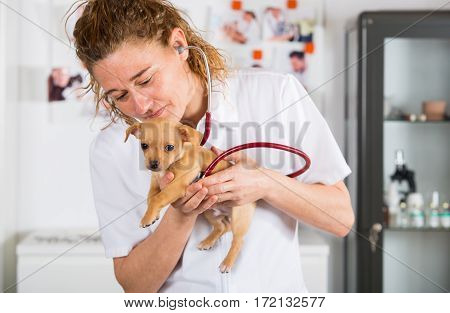 Veterinarian with a chihuahua puppy doing an auscultation