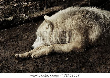 Wolf is sleep in nature. Artic wolf in mud. Predator has got rest.