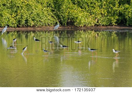 Flock of Black winged Stilt, Common stilt, Pied stilt wader birds with pink legs, long thin black bill walking in water looking for food in Thailand, Asia (Himantopus himantopus)