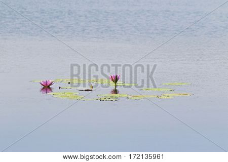 Pink magenta flower of Waterlily, lotus blossoming in middle of huge pond in Thailand, Asia