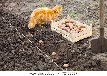 Red Cat And Process Of Planting Potato Field In The Vegetable Garden