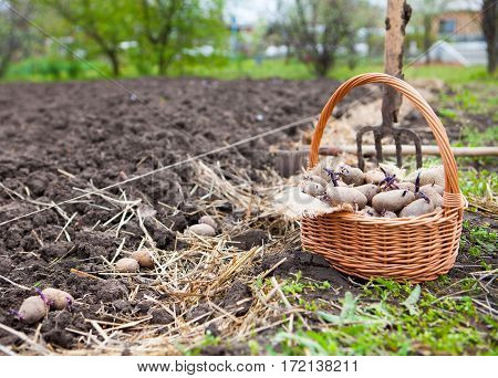 Prepared Germinating Potatoes Before The Planting In Basket