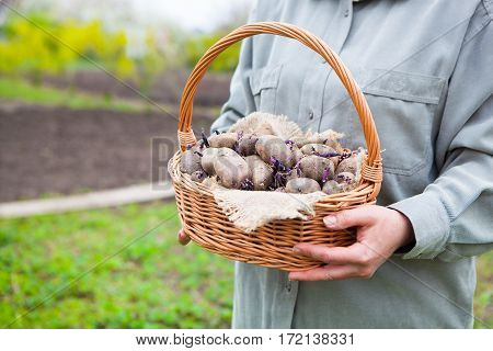 Close-up Of Germinating Potatoes In Basket In The Woman Farmer Hands