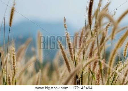 Beautiful Grass Flower Background ,selective Focus