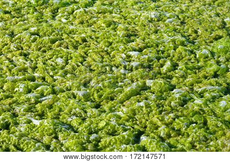 algae background, green algae texture background swamp