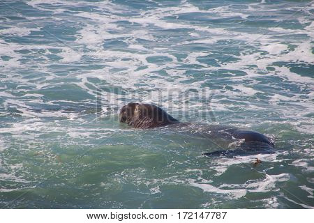 Swimming Elephant Seals Laying On The Beach Sunbathing In Usa