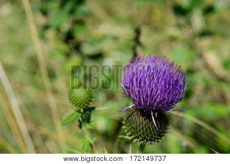 A nice blossom of a cardoon on defocused background