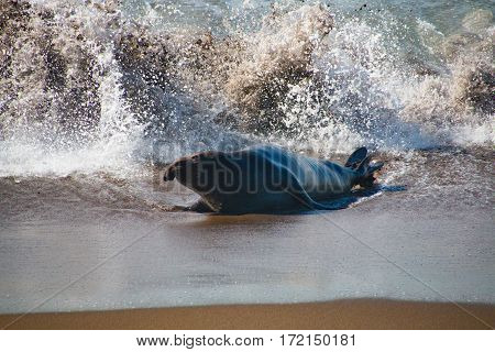 Male elephant seals coming out of the water in USA California