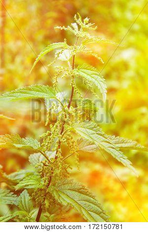 Herb Nettle Summer Closeup