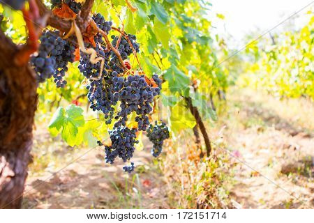 Vineyard With Ripe Grapes In Countryside At Sunset, Toned Picture