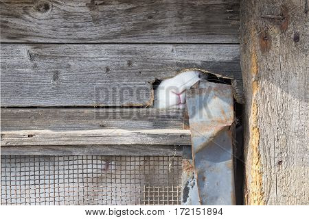 White rabbit looking hrough a hole in wooden cage