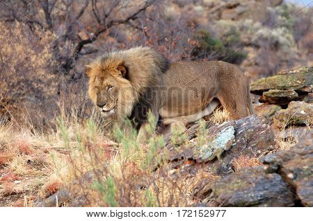 Big lion in the amazing savannah of Namibia