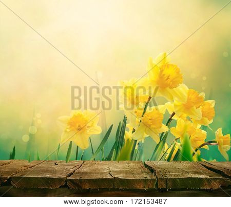 Daffodil floral spring background. Easter Spring Flowers. Elegant Mother's Day gift. Springtime green background. Wood table. Wooden table with background