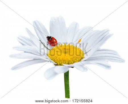 Ladybug on daisy flower. Isolate on white background