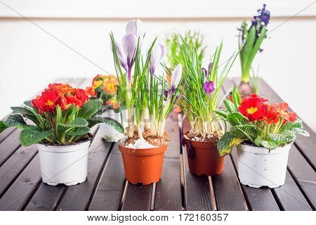 Different colorful spring flowers growing in the pots. Horizontal indoors shot.
