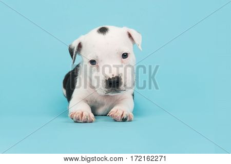 Cute black and white 5 weeks old stafford terrier puppy lying down seen from the side on a blue background