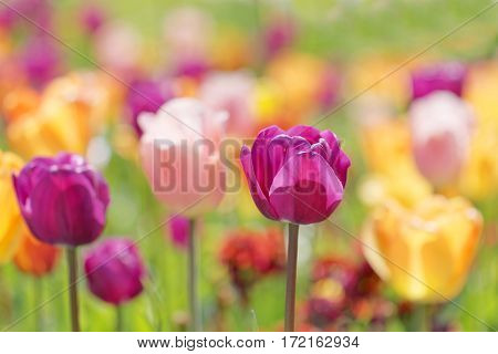 Color burst of very colorful tulips in violet pink yellow and red (latin name: tulipa gesneriana). Short depth of focus.