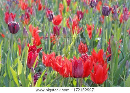 Rain on red and deep purple tulips (latin name: tulipa gesneriana). Short depth of focus.