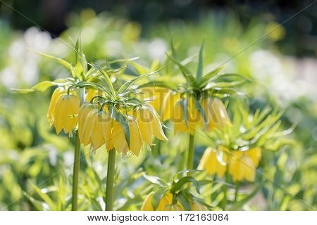 Yellow crown imperial flowers green background(latin name: Fritillaria imperialis).