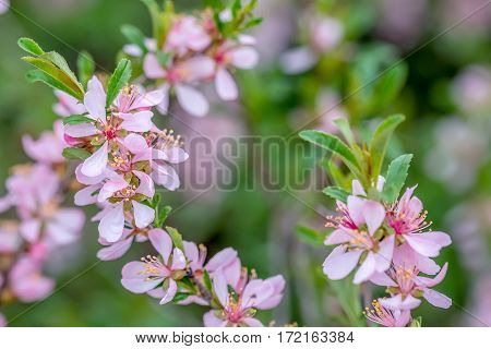 Wallpaper with blossoming of dwarf Russian almond or Prunus tenella in spring
