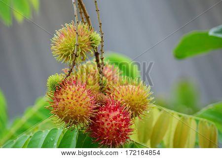 Rambutan fresh fruit from my home. Rambutan = Lychee