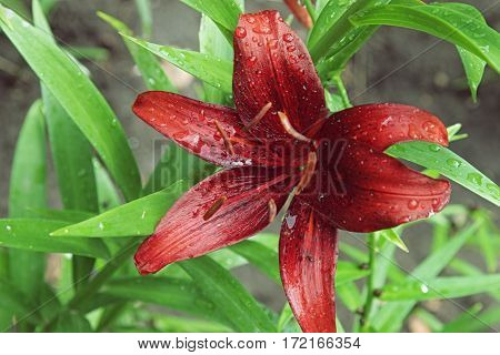 Extreme Close Up Colorful Red Purple Lily Against Green Lawn Background In Garden