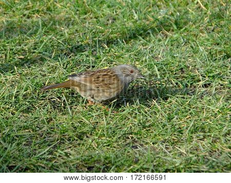 Hedge sparrow searching for food amongst grass