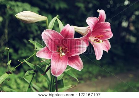 Extreme Close Up Two Flowers Of Colorful Pink Lily Against Green Lawn Background In Garden