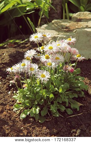 White Marguerite Flowers On Flowerbed Close Up