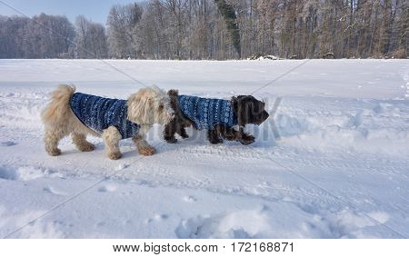 Havanese Dog With Coat In Winter Landscape