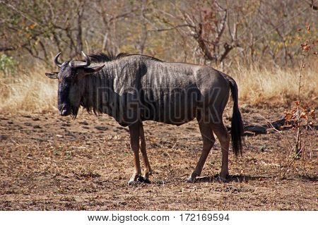 a undomesticated Blue wildebeest in Kruger Park in South Africa