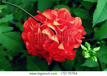 Posh Motley Red Dahlia Close Up In The Garden