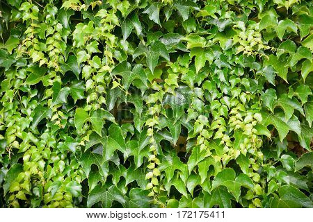 Fresh, spring ivy leaves on the wall. Green and colored ivy leaves lit by the rays of the sun.