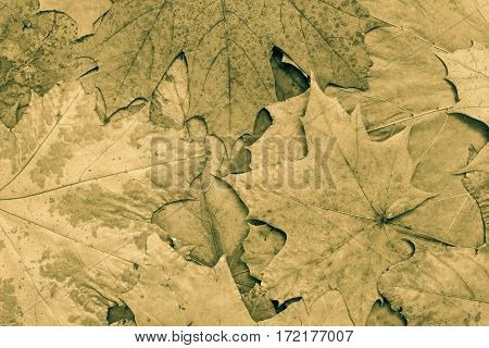 the natural textured background from maple foliage of monotonous khaki color