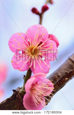 Macro texture of pink Japanese Plum blossoms with blurred background in vertical frame
