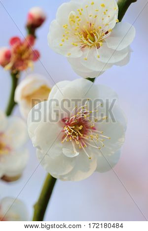 Macro details of Japanese White Plum blossoms in vertical frame