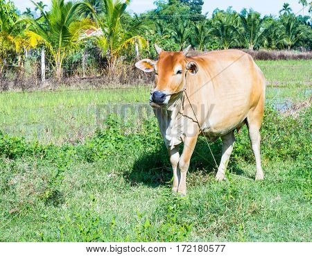 Brown Cow Standing In A Meadow. She Chews Grass.