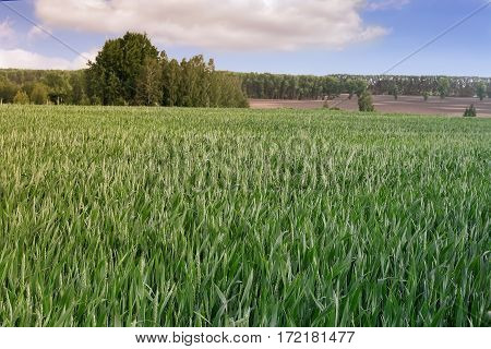 Summer landscape: field sown with wheat on the horizon could be seen the trees . On a blue sky fluffy white clouds.