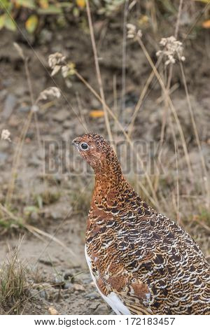 a willow ptarmigan in early fall in Denali National Park Alaska